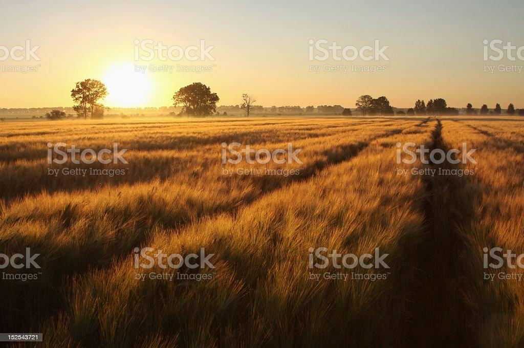 Sunrise over a large wheat field stock photo