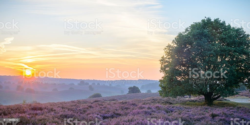 Sunrise over an old Oak tree in blossoming Heather fields stock photo