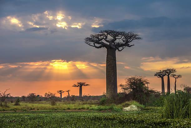 Sunrise over Avenue of the baobabs, Madagascar stock photo