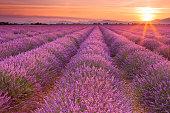 日の出ラベンダーの花のフィールドには、フランス、プロバンス地方