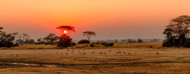 sonnenaufgang über busanga plains, kafue nationalpark, sambia - sambia stock-fotos und bilder