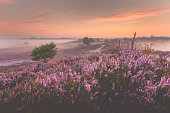 Sunrise over Dutch heath landscape with flowering heather
