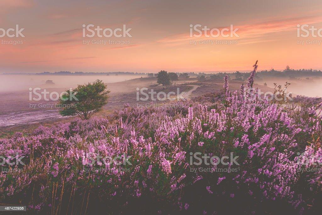 Sunrise over Dutch heath landscape with flowering heather stock photo