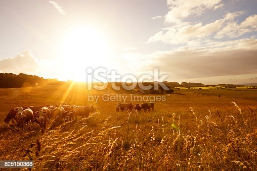Sunrise in the countryside. Several animals / cows are standing and grazing / eating grass