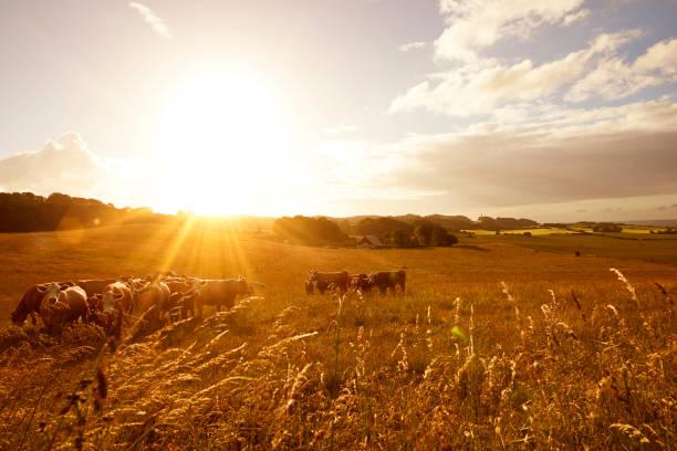 Sonnenaufgang über Nutztiere – Foto