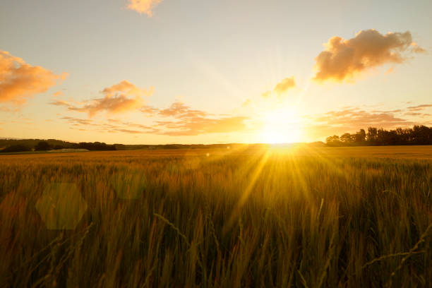 Sunrise over field Sunrise over cornfield / field. The sun shines straight into the camera an early fresh morning sunrise stock pictures, royalty-free photos & images