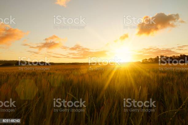 Sunrise over cornfield / field. The sun shines straight into the camera an early fresh morning