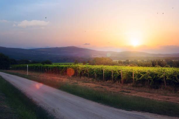 Sunrise over grape Vineyard; summer winery region morning landscape stock photo