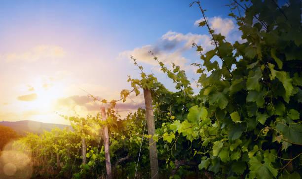 Sunrise over grape Vineyard; summer winery region morning landscape - foto stock