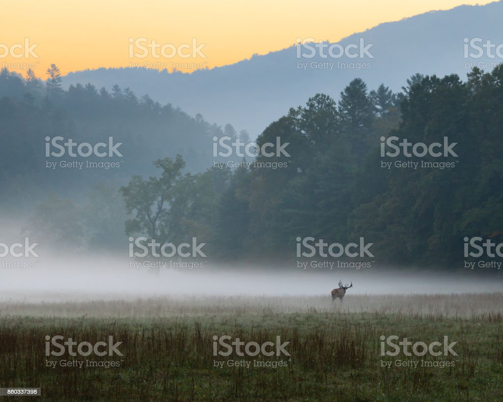 Sunrise over misty meadow with male bull elk grazing stock photo