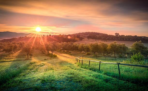 alba sul campo verde oliva - frutteto foto e immagini stock