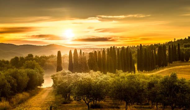 Sunrise over olive field stock photo