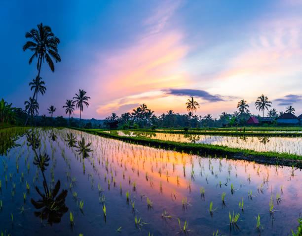 Sunrise over rice fields in Ubud, Bali stock photo