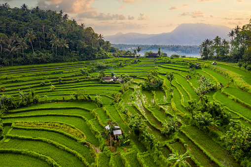 Green rice fields on Bali, aerial drone shot