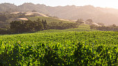 Sunrise overlooking a vineyard in Sonoma County, a tranquil, scenic Northern California wine district.
