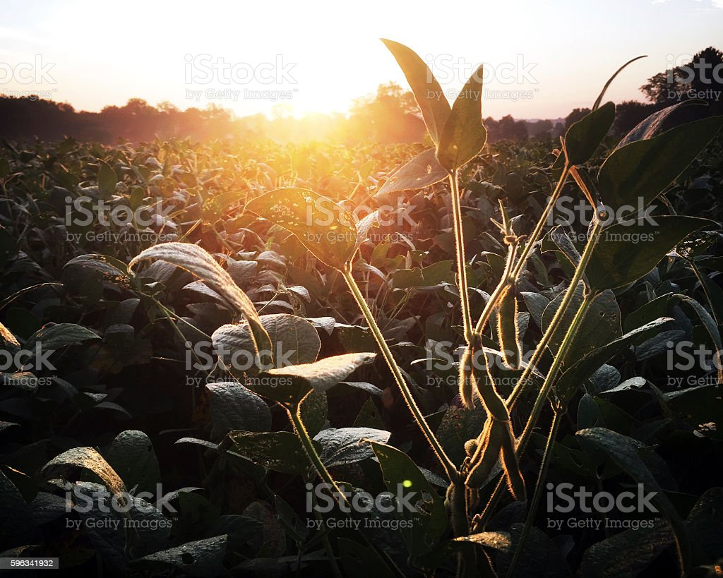 Sunrise over Soybean Field in Late Summer royalty-free stock photo
