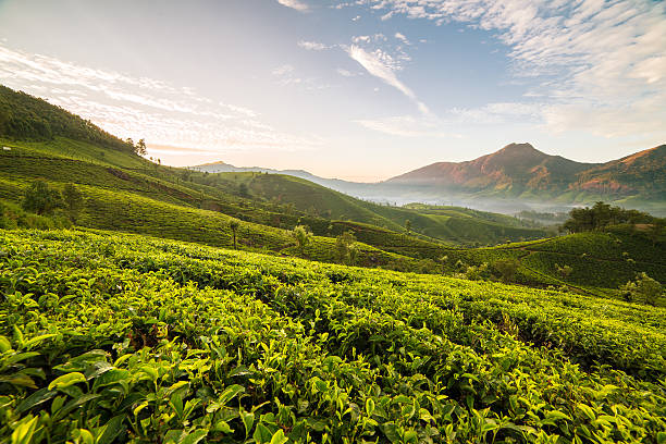 sunrise over tea plantations in munnar, kerala, india - darjeeling tee stock-fotos und bilder
