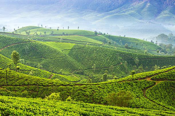 sonnenaufgang auf teeplantagen in munnar, kerala, indien - darjeeling tee stock-fotos und bilder