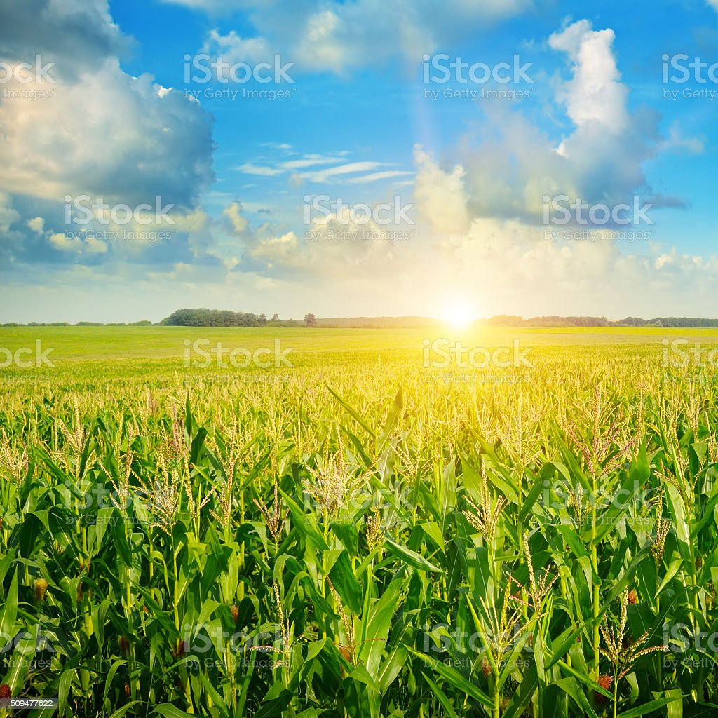 sunrise over the corn field stock photo