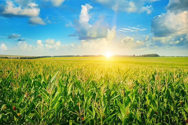 nascer do sol sobre o campo de milho - milho imagens e fotografias de stock