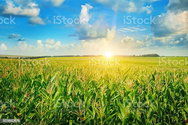 Sonnenaufgang Über Dem Corn Field Stockfoto und mehr Bilder von Abenddämmerung