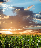 Sunrise over the green corn field