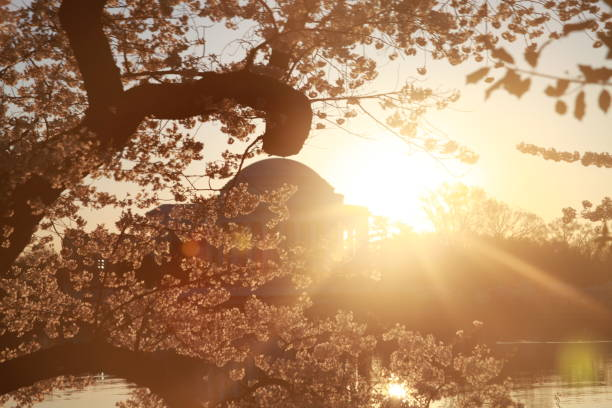 Sunrise over the Jefferson Memorial with Cherry Blossoms stock photo