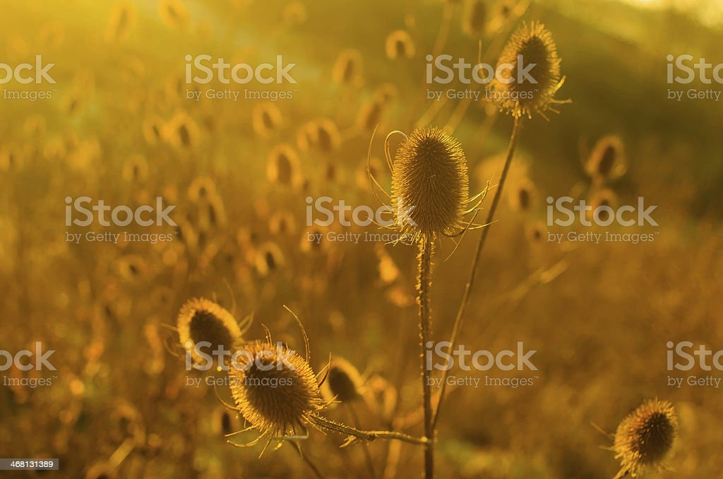 Sunrise over the Teasels stock photo