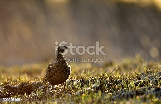 Sunrise Back-light Portrait of Female Black Grouse (Tetrao tetrix). Early morning in the forest. Russia
