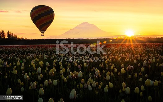 Spring 2019 tulip fields with a hot air balloon sailing into the sunrise. Mt Hood in the background and perfectly timed sun rays.