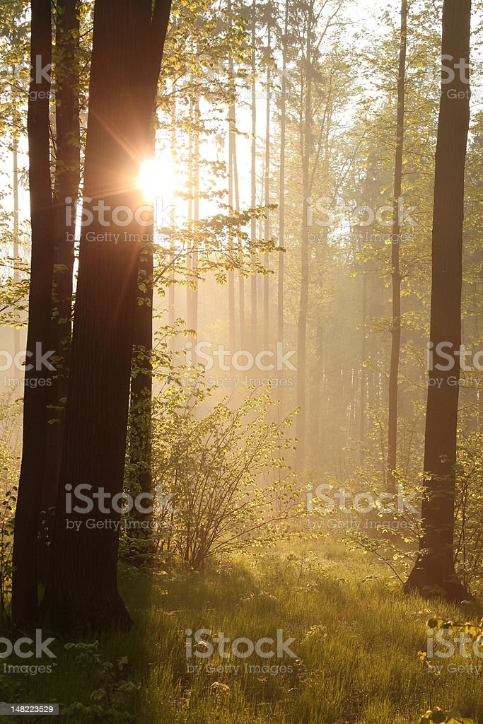 Sunrise seen from the forest royalty-free stock photo