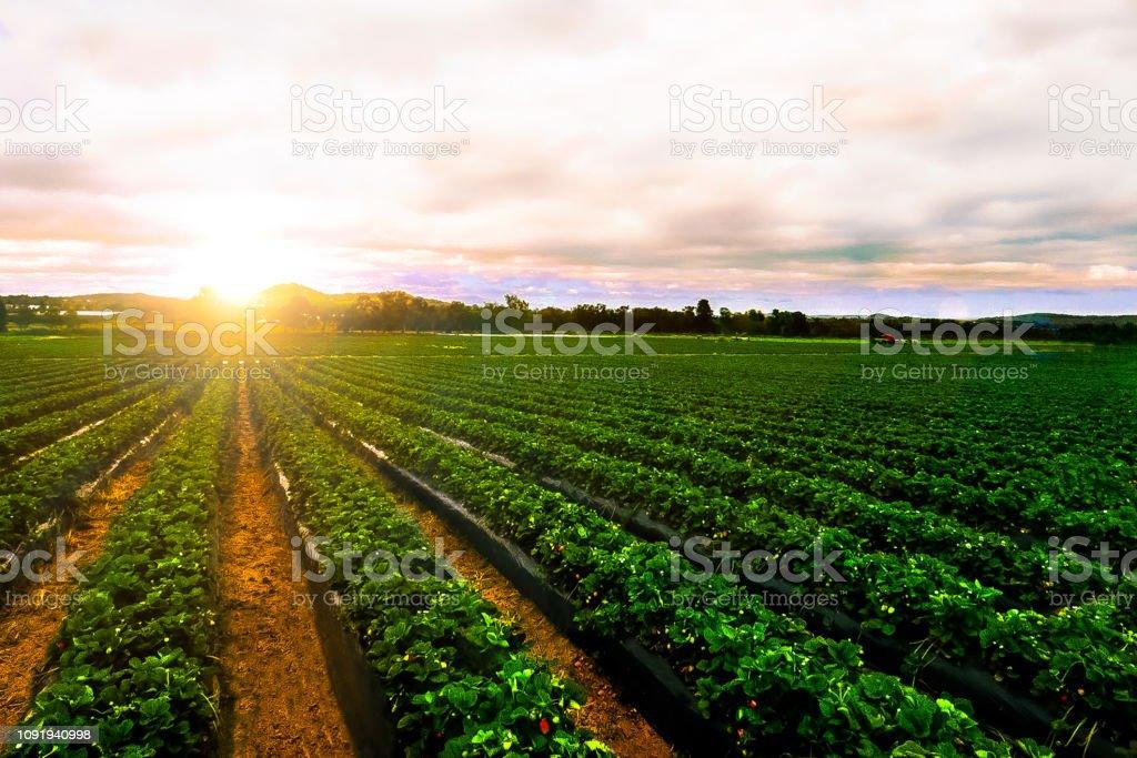 日出草莓農場景觀農業農業 - 免版稅健康飲食圖庫照片