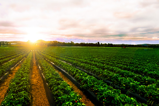istock sunrise strawberry farm landscape agricultural agriculture 1091940998