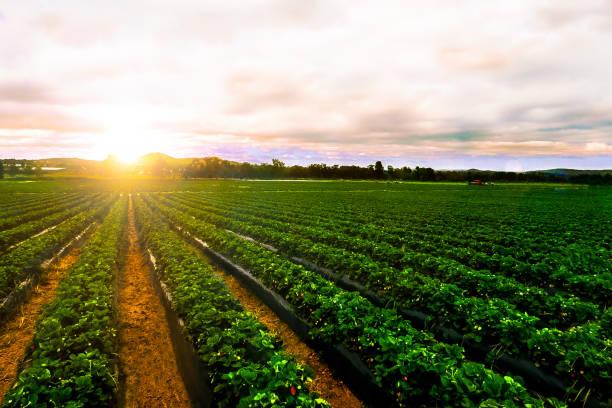 wschód słońca truskawka krajobraz rolnictwa rolniczego - zbierać plony zdjęcia i obrazy z banku zdjęć