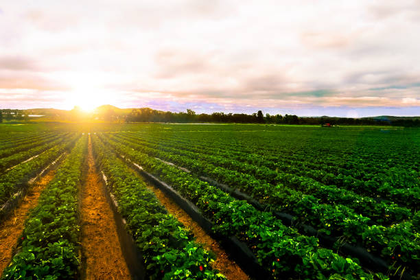 sunrise strawberry farm landscape agricultural agriculture - agriculture stock pictures, royalty-free photos & images