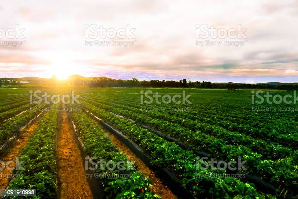 Photo of sunrise strawberry farm landscape agricultural agriculture