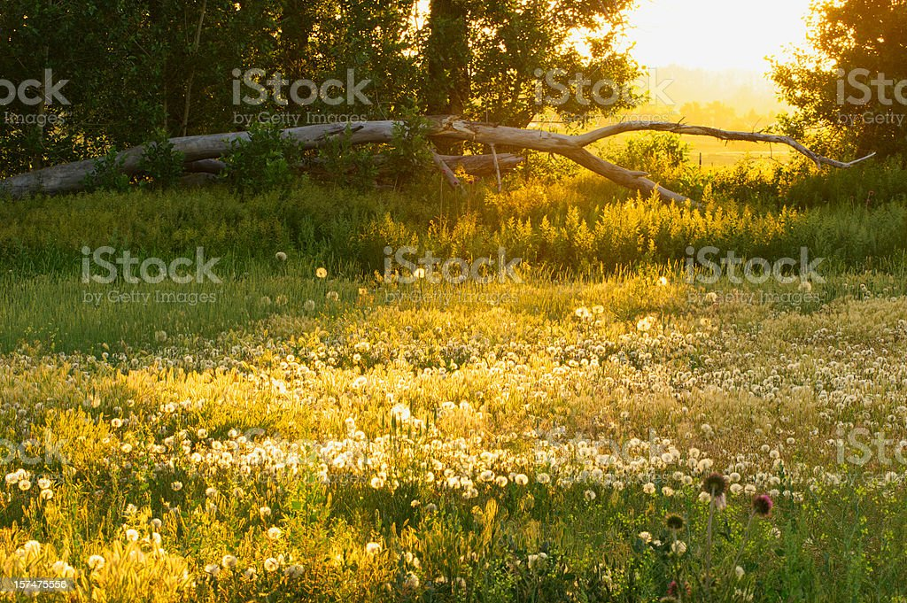 Sunrise through the meadow royalty-free stock photo
