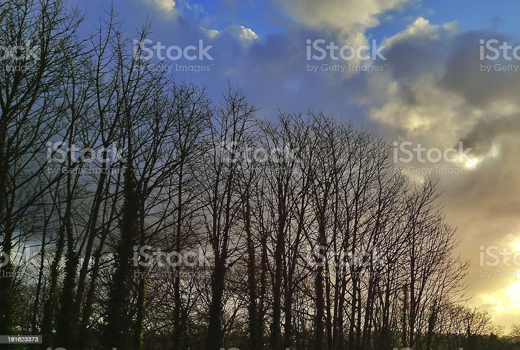 Sunrise tree line with blue and gold dawn light royalty-free stock photo