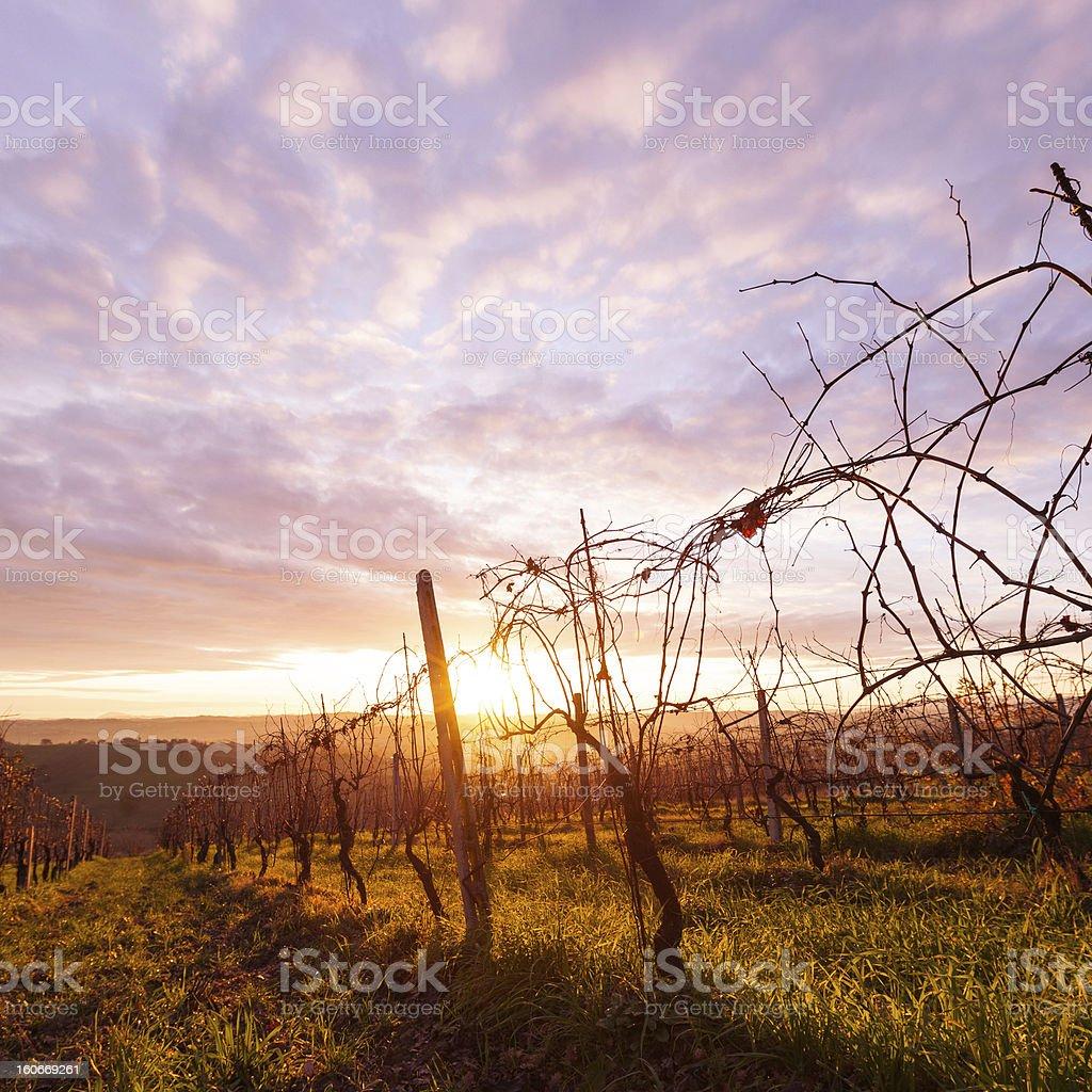 Sunrise Tuscany Vineyard royalty-free stock photo