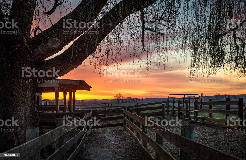 Sunrise Weeping Willow stock photo