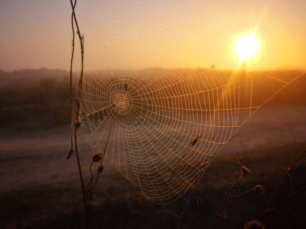 A sunrise with a spider web and morning dew stock photo