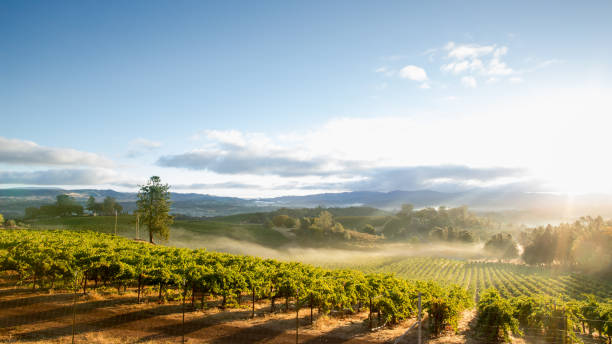 Sunrise with morning mist over scenic vineyard in California Sunrise overlooking a vineyard in Lake County, a tranquil, scenic Northern California wine district. sonoma stock pictures, royalty-free photos & images