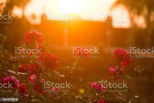 Sunrise with roses picture id1047574816?b=1&k=6&m=1047574816&s=612x612&h=kdepw3frvo nxdeitin0oxwb8yqzbiqixoucsdfkb6g=