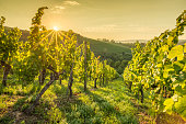 Sunrise with sunbeams in a vineyard with green foliage