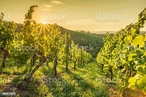 Photo of Sunrise with sunbeams in a vineyard