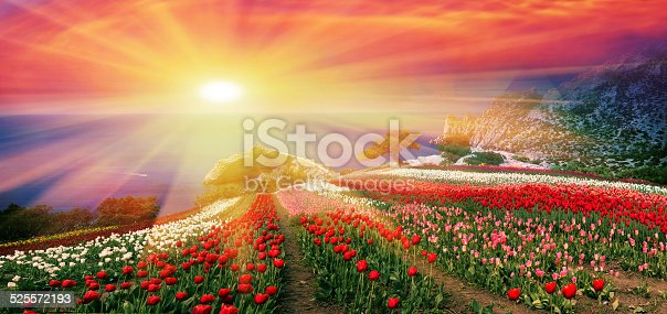 istock Sunrises and sunsets with tulips in the Crimea 525572193