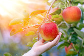 Sun's rays shine through leaves on ripe apples in orchard. Shallow depth of field.
