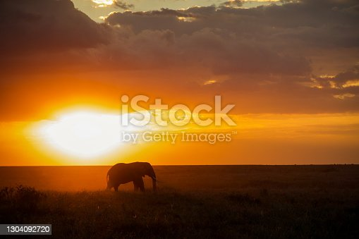 Last moments before the sun disappears over the horizon and a lone elephant bull grazes on the Serengeti's Namiri Plains, Tanzania.