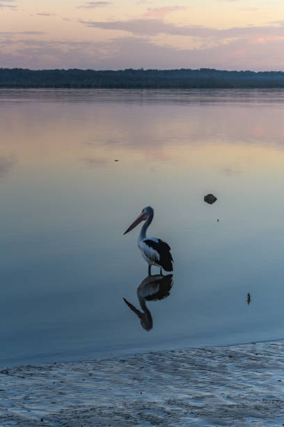 Sunset and Pelican Waterscape stock photo
