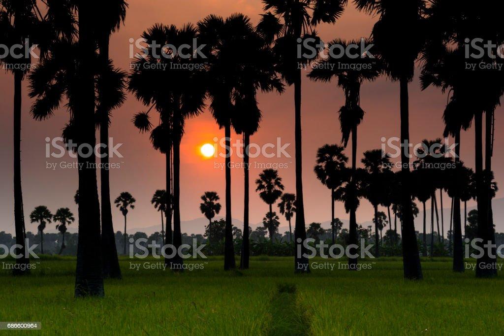 Sunset and rice field photo libre de droits